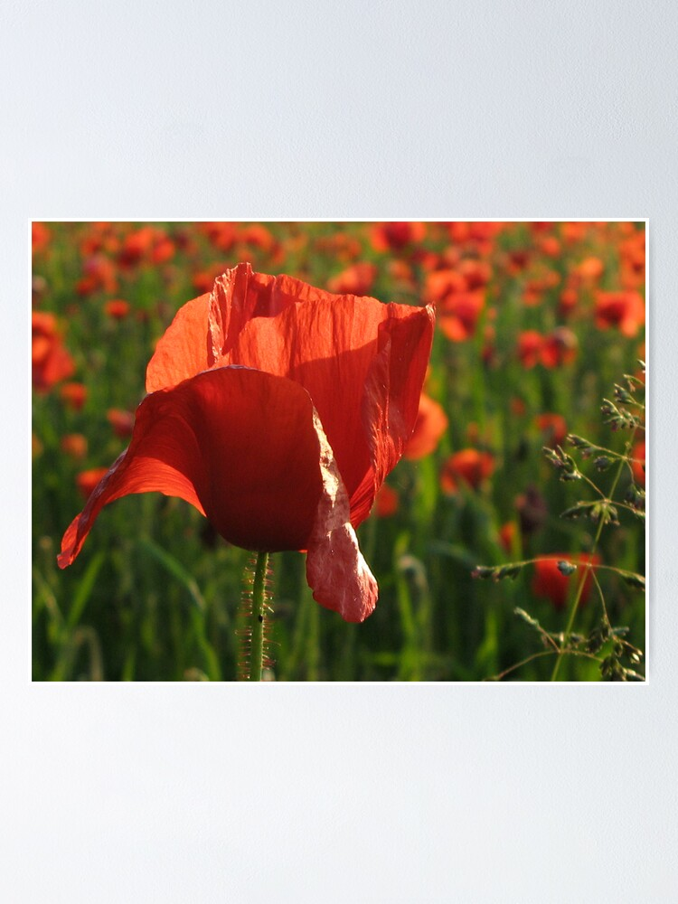 Alternate view of Poppies Poster