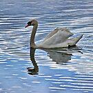 Proud mute swan by Avril Harris