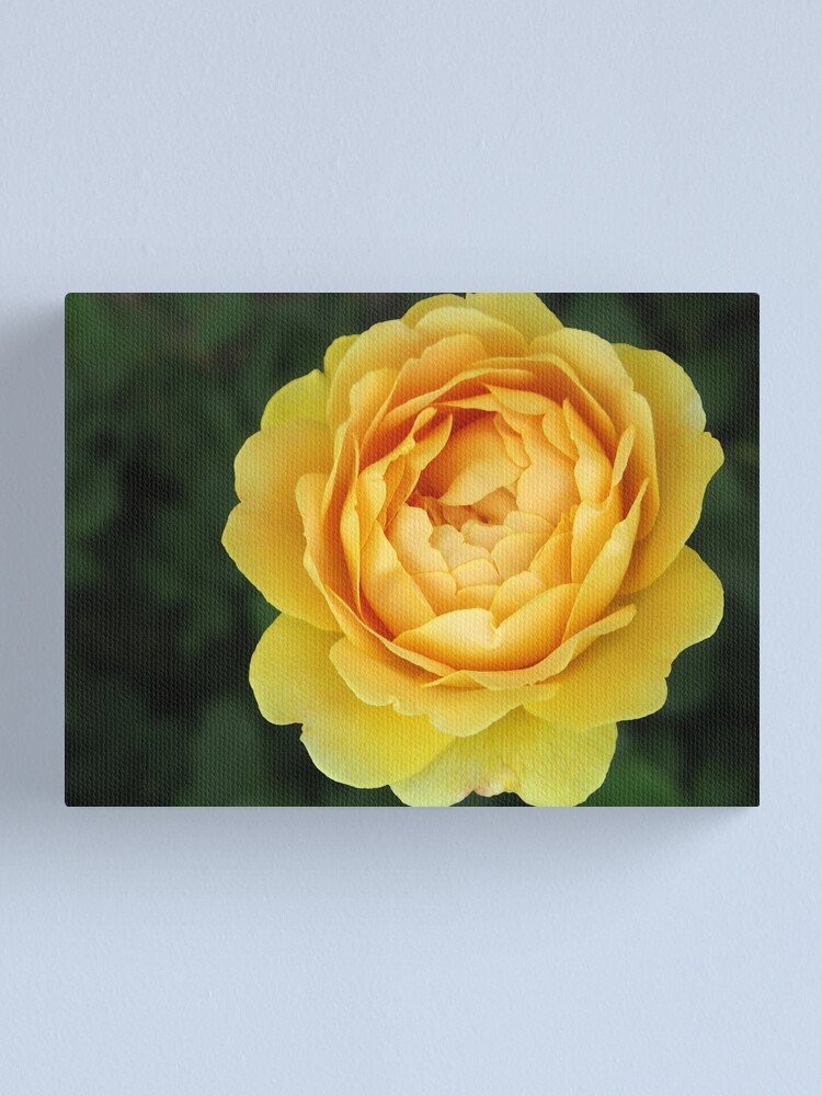 Alternate view of Apricot Rose Canvas Print