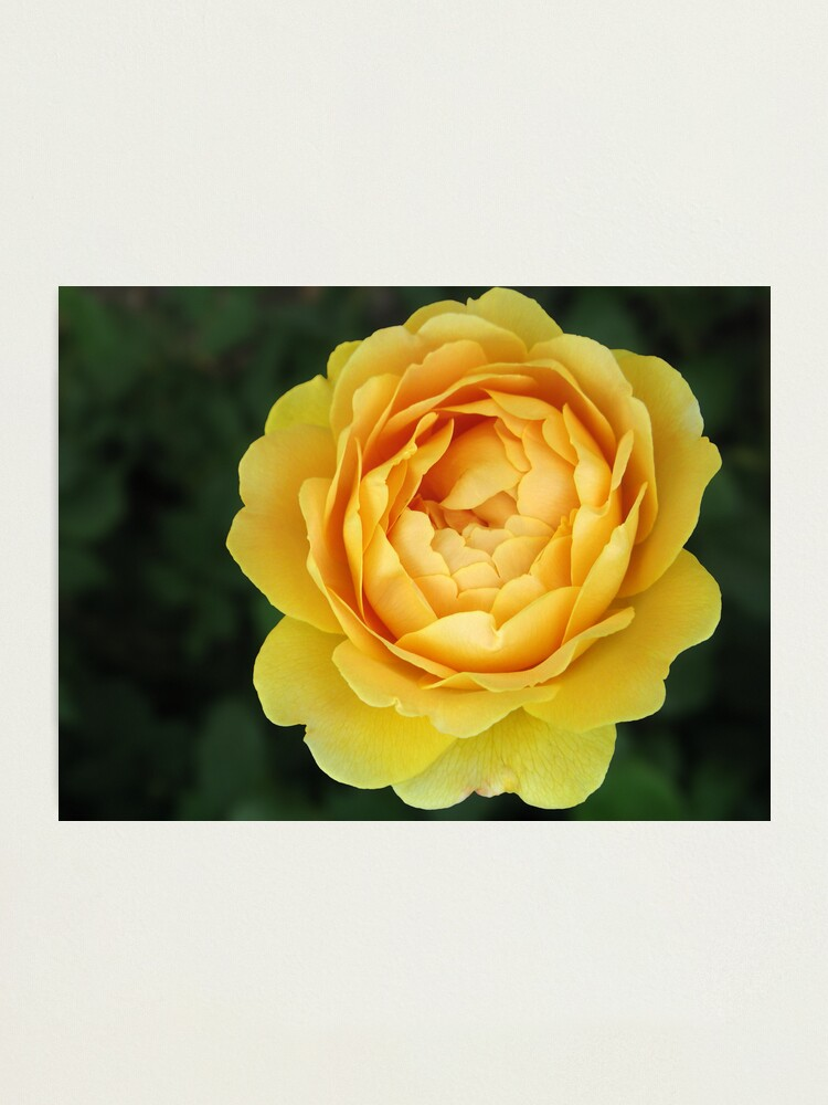 Alternate view of Apricot Rose Photographic Print