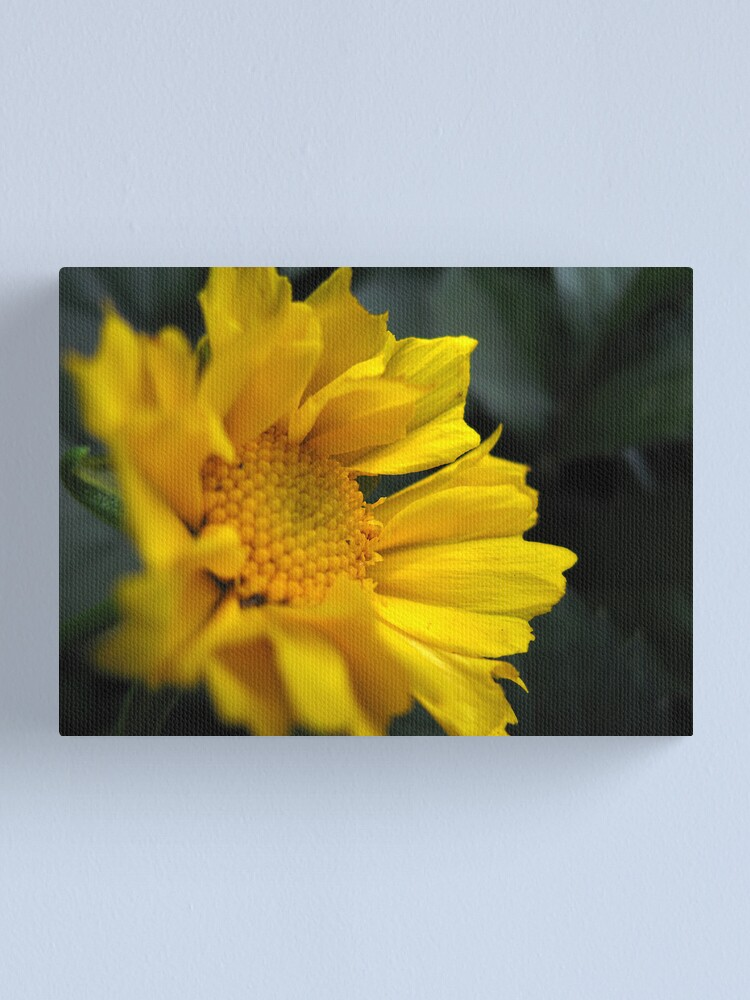 Alternate view of Coreopsis Black Canvas Print
