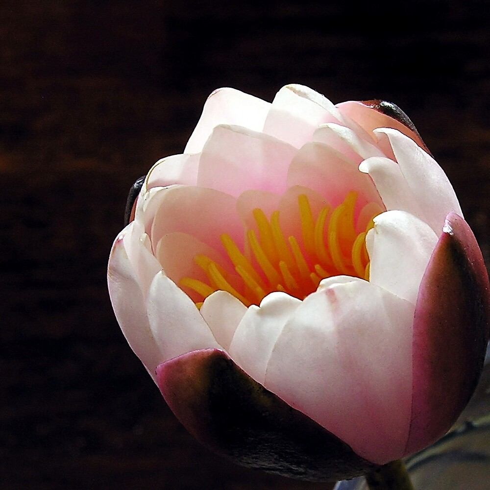 Water Lily by stephA