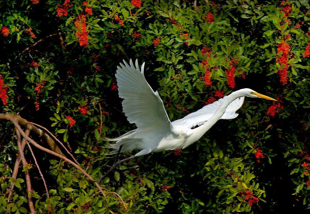 Great White Egret by Michael Wolf