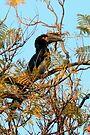 Trumpeter Hornbill by Graeme  Hyde