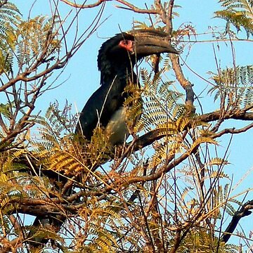 Trumpeter Hornbill by grmahyde