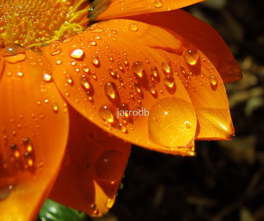daisy by jarrodb