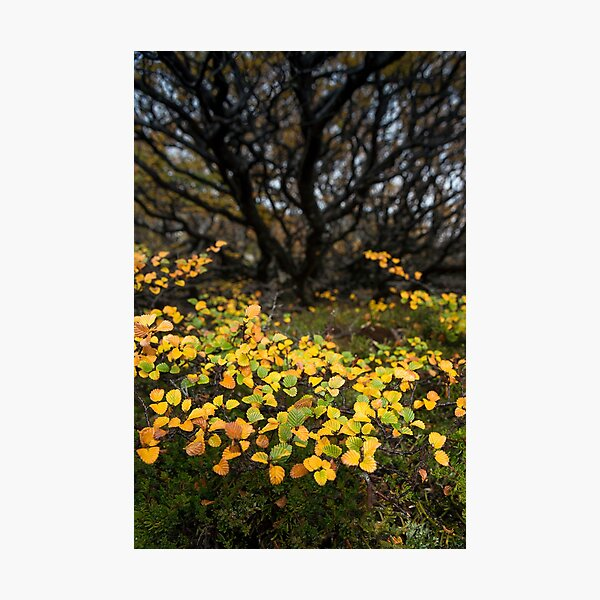 Fagus Flow Photographic Print