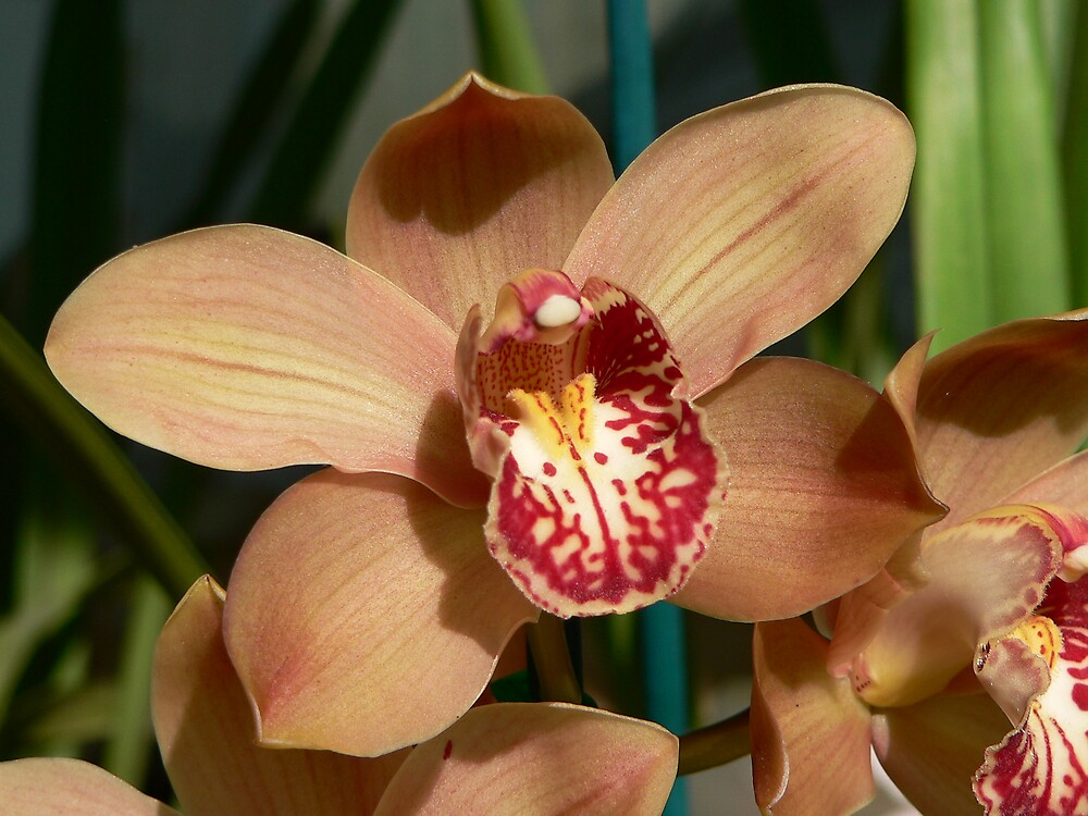 Orchid by Bouzov