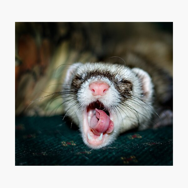 Love is a Ferret. Photographic Print