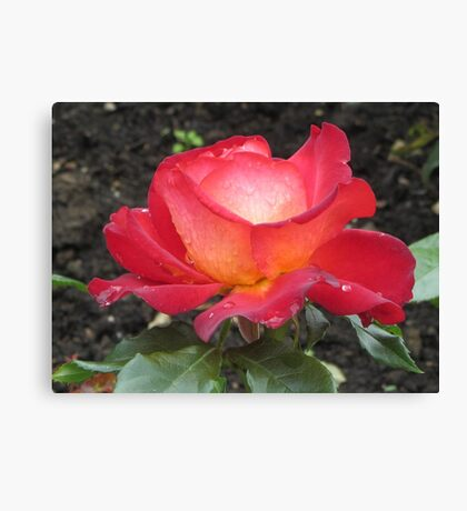 A rose named Pigalle Canvas Print