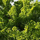 Sunlit Maple Leaves Patterns by Georgia Mizuleva