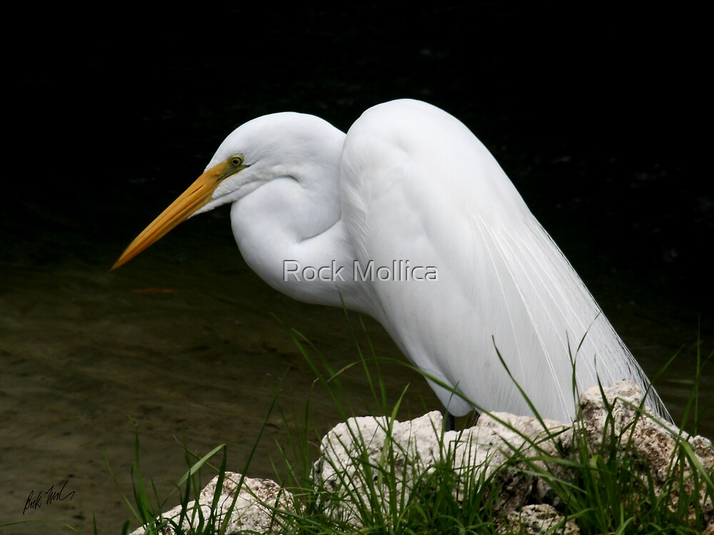 Snowy Egret by Rock Mollica
