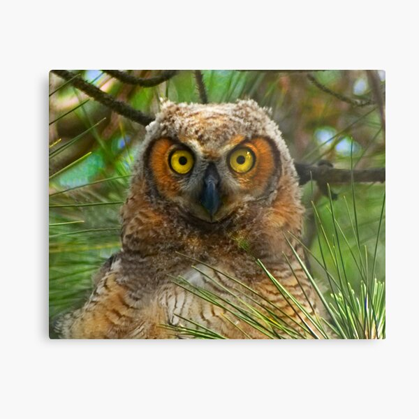 Great Horned Owl Chick Close-up Metal Print