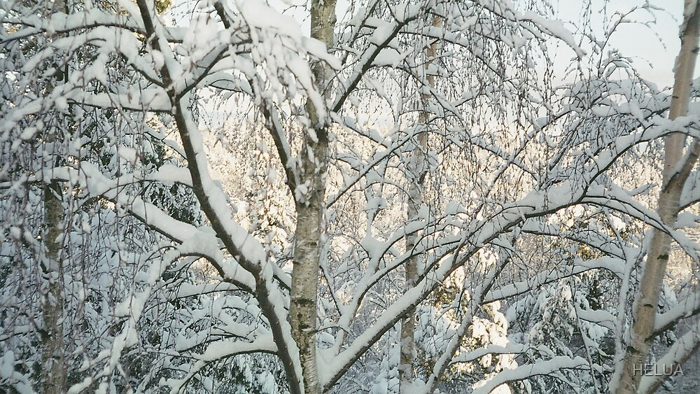 Birches in Snow by HELUA