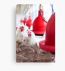 Hens in an organic, free roaming, chicken coop  Canvas Print