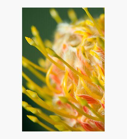 Proteaceae Leucospermum aka Pincushion 2 Photographic Print