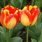 Twin Tulips by Lee d'Entremont