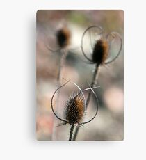 Dried Teasel Flowers Canvas Print