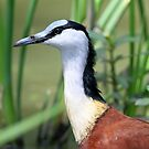 Portrait of an African Jacana by Anthony Goldman