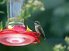 Perched Hummingbird by FrankieCat