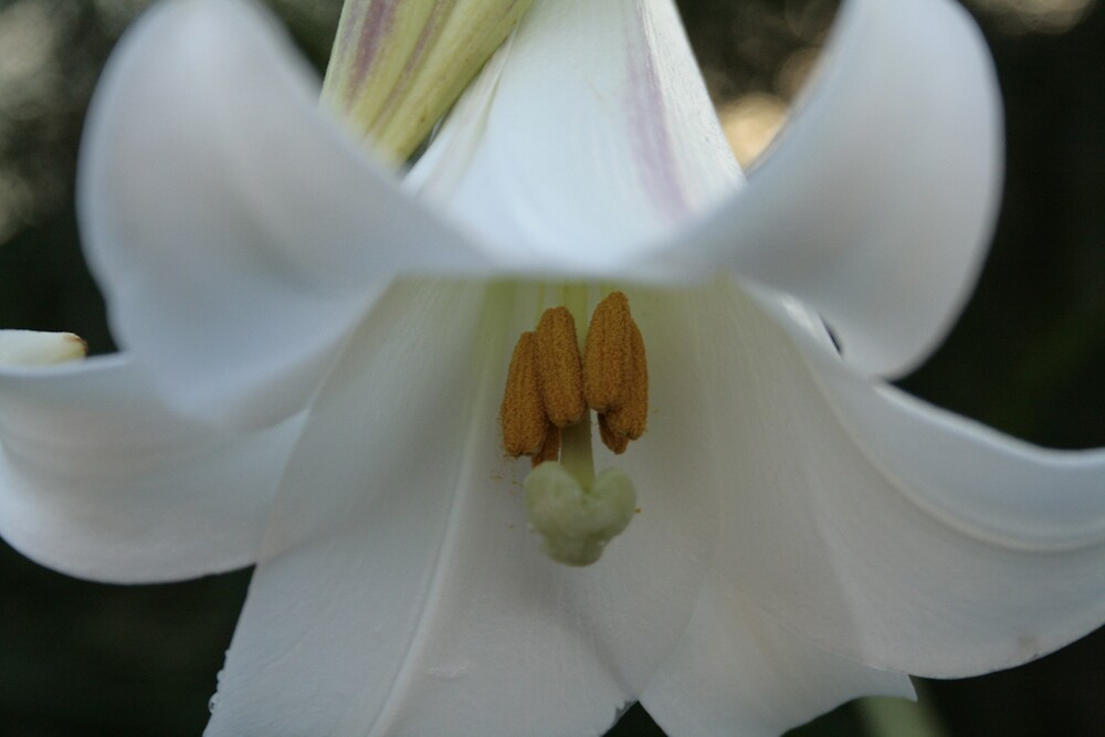 lilly  by veins