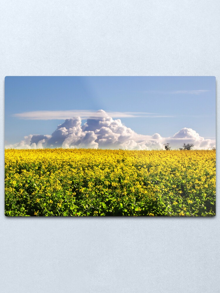 Alternate view of Canola Crops and Clouds Metal Print