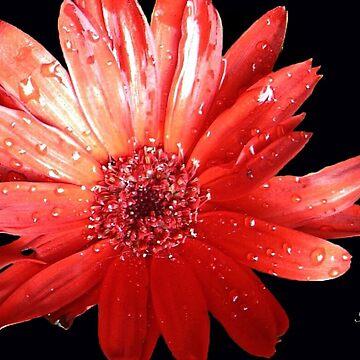 Glamorous Gerbera Daisy by rsobiera