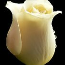 Rose with tears by Rosemary Sobiera