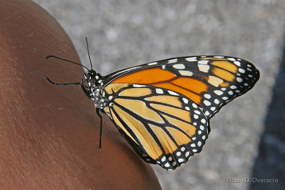Friendly Butterfly by Robin D. Overacre