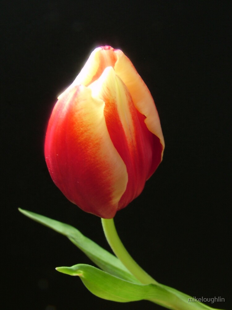 Tulip by mikeloughlin