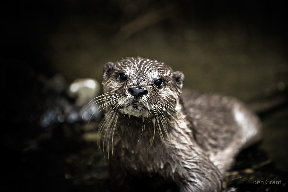 Portrait of an Otter by Ben Grant