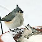 Tufted Titmouse by Alyeska