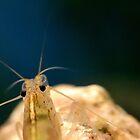 Amano shrimp Caridina Multidentata 1 by CasparTheRiddle