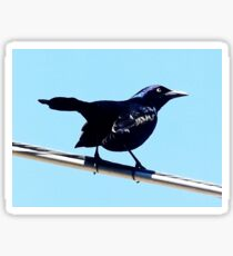 The Common Grackle Sticker