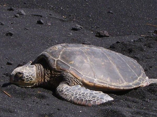 Black Sand Beach Turtle by Cheeseya024