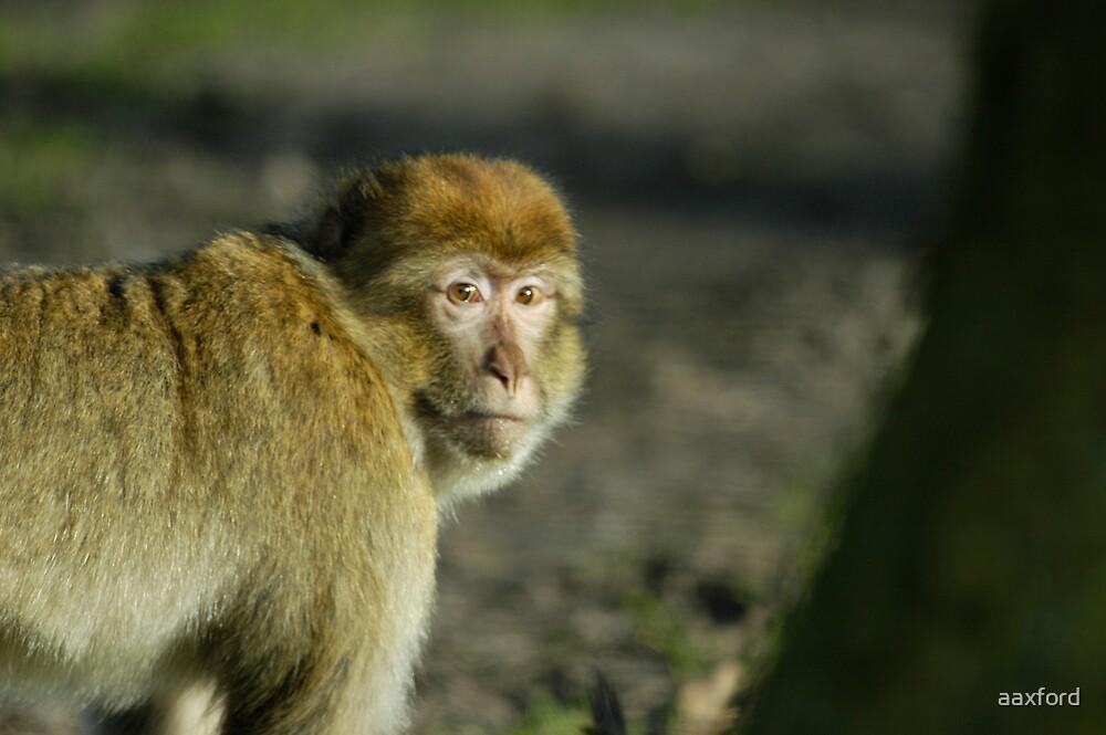 Monkey by aaxford