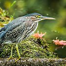 little green heron out fishing by AlRobinson