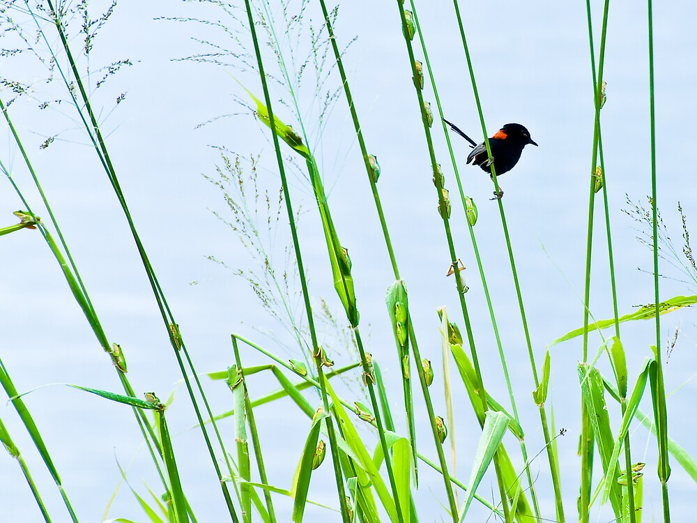 Red-backed Fairy-wren outflanked by fearless frogs by Frank  McDonald