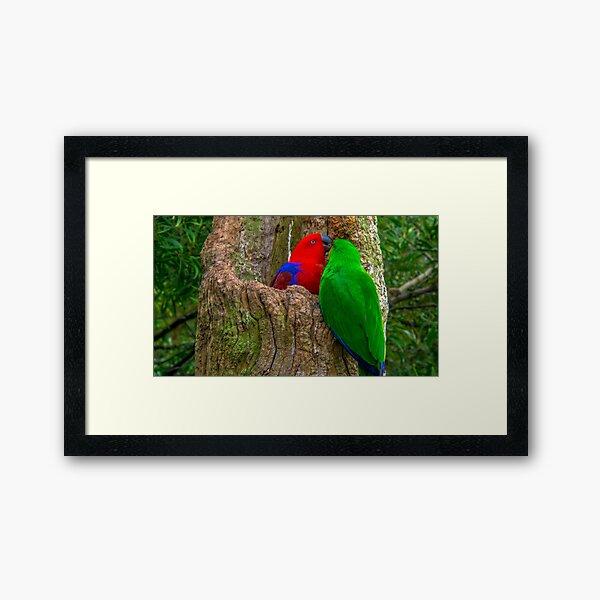 Eclectus Parrots Framed Art Print