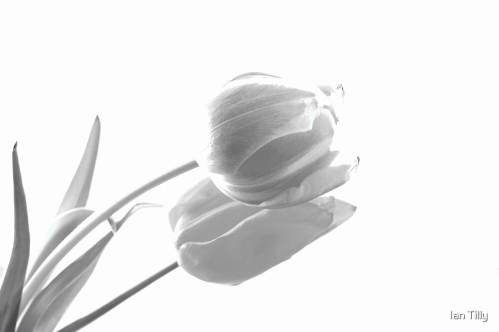 Tulip - Beauty in monochrome by Ian Tilly