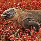 Land Iguana in the Carpet Weed by Derek McMorrine