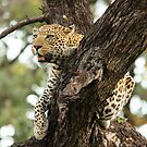 LEOPARD IN A TREE by Larry Glick