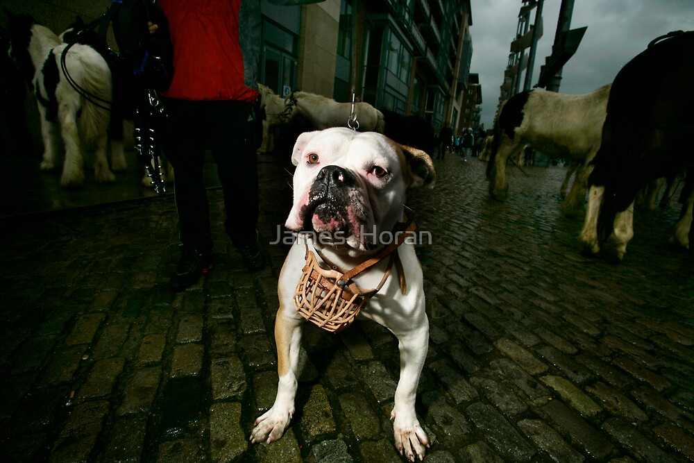 Stafford Terrier for sale for 1000 euros at the Smithfield Horse market by James  Horan