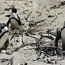 SOUTH AFRICAN PENGUINS by Larry Glick