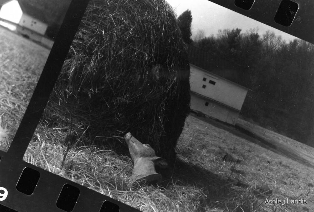Deer Head in Hay by Ashley Landis