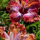 Guatemala. Hibiscus Flowers. by vadim19
