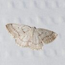 Gray Spring Moth by Alice Kahn