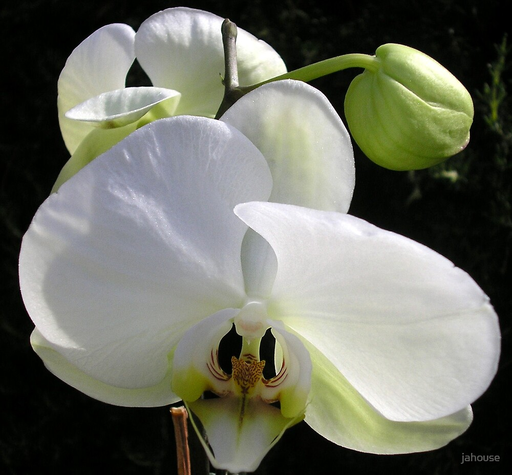 Up Close White Orchid by jahouse