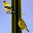 Goldfinch At the Feeder by Nancy Richard