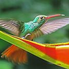 Rufous tailed hummingbird defending Heliconium by Linda Sparks